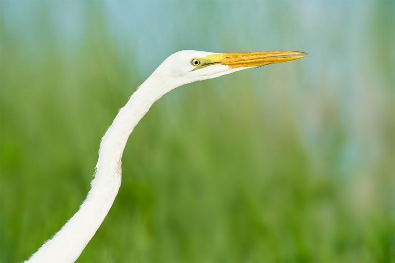 Great-Egret-juvenile-hunting-in-marsh-_7R44283-Indian-Lake-Estates-FL-1
