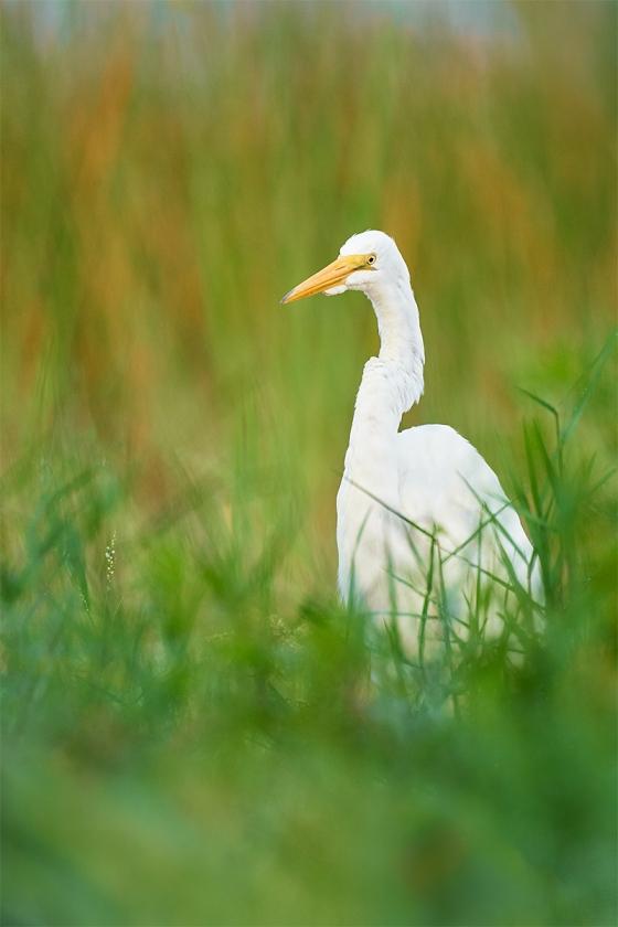 Great-Egret-juvenile-in-marsh-grasses-_A9B6457-Indian-Lake-Estates-FL-1