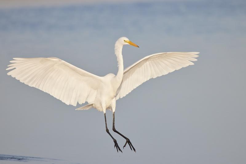 Great-Egret-landing-R5-_Q5A0169-Fort-DeSoto-Park-FL-1