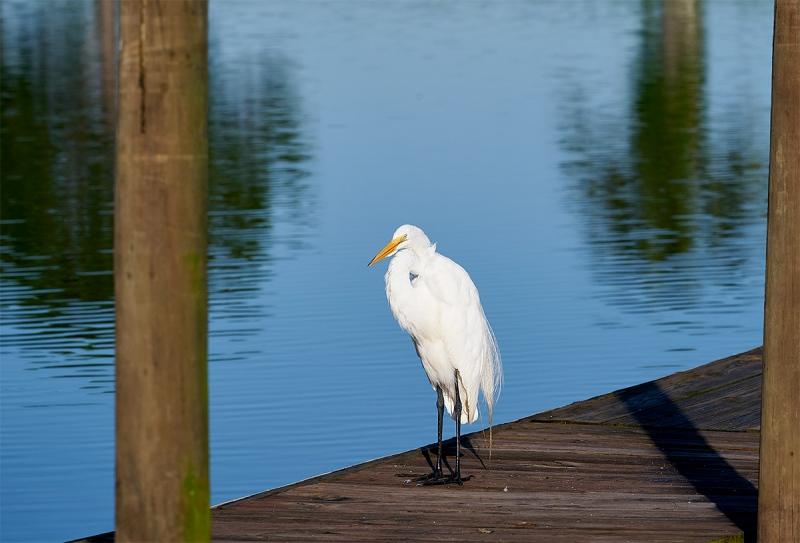 Great-Egret-on-dock-_A9B3408-Indian-Lake-Estates-FL-1