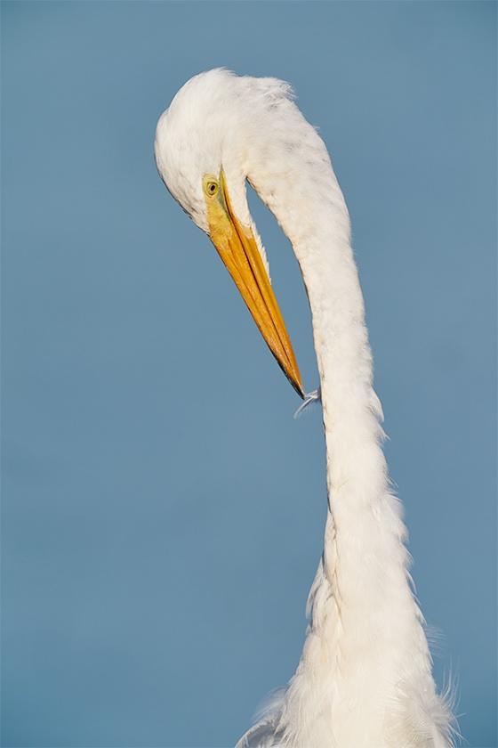 Great-Egret-preening-_A9B3337-Indian-Lake-Estates-FL-1