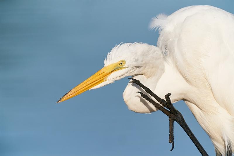 Great-Egret-scratching-_A9B3378-Indian-Lake-Estates-FL-1