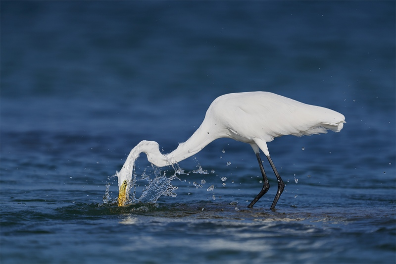 Great-Egret-striking-_DSC1053-Fort-DeSoto-Park-Pinellas-County-FL-1