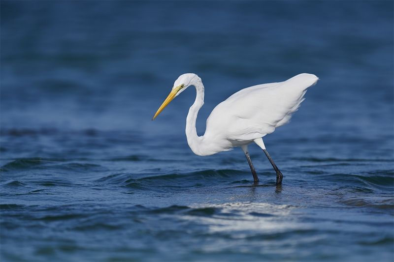 Great-Egret-tensing-to-strike-_DSC1073-Fort-DeSoto-Park-Pinellas-County-FL-1