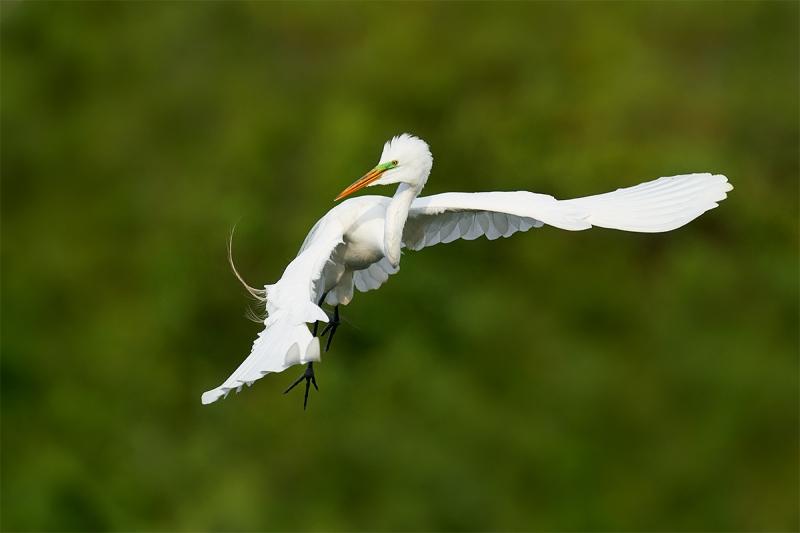 Great-Egret-wheeling-in-fight-flight-_A9B9587-Brandon-FL-1