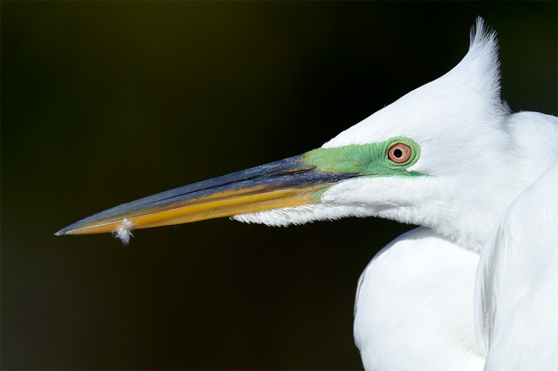 Great-Egret-with-crest-blowing-_7R40605-Gatorland-Kissimme-FL-1