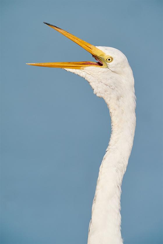 Great-Egret-yawning-_A9B3370-Indian-Lake-Estates-FL-1