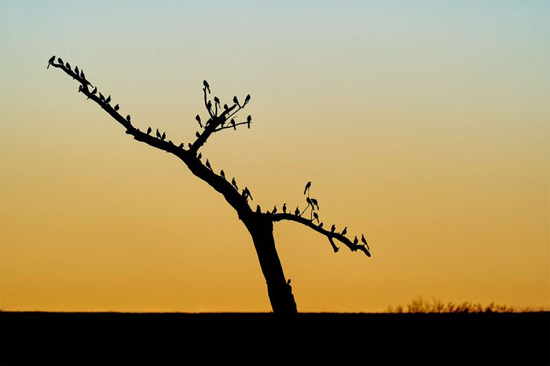 Great-tailed-Grackles-at-dawn-_A927100-Bosque-del-Apache-NWR-San-Antonio-NM-1