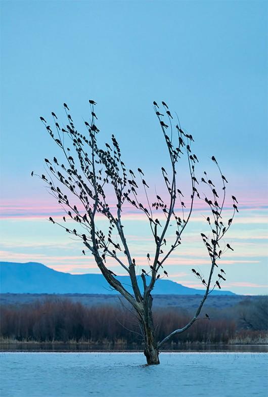Great-tailed-Grackles-at-dawn-a-_A929044-Bosque-del-Apache-NWR-San-Antonio-NM-1