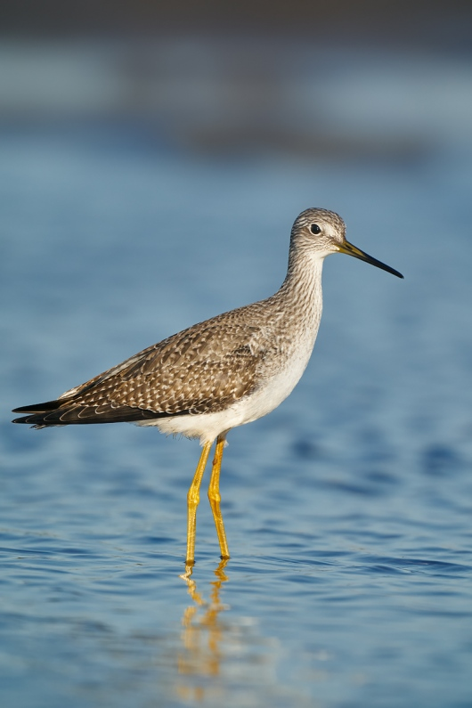 Greater-Yellowlegs-_A9B0944-Taylor-oilfields-High-Island-TX-1