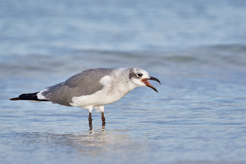 Laughing-Gull-calling-in-surf-_DSC7125-Fort-DeSoto-Park-FL-1