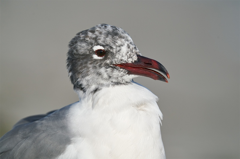 Laughing-Gull-molting-head-poorttrait-_A926582-Fort-DeSoto-Park-FL-1
