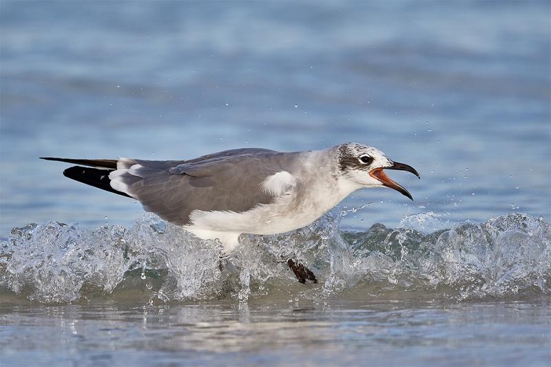 Laughing-Gull-screaming-in-surf-_DSC7130-Fort-DeSoto-Park-FL-1