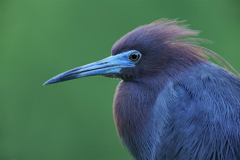 Little-Blue-Heron-A-breeding-plumage-head-portrait-_MAI1187-Gatorland-Kissimmee-FL