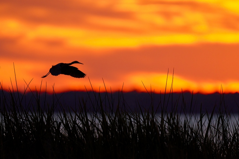 Little-Blue-Heron-SAT-flying-to-roost-at-sunset-_7R43815-Indian-Lake-Estates-FL-1-1