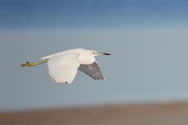 Little-Blue-Heron-imm-in-flight-_Q5A4981-Fort-DeSoto-Park-FL-1-gigapixel-scale-2_00x