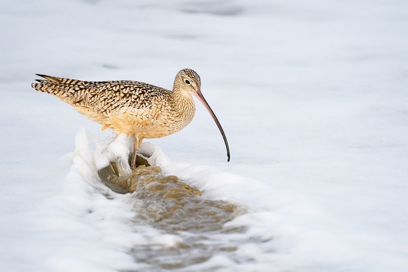 Long-billed-Curlew-foraging-_A921307-Morro.-Bay-CA-2