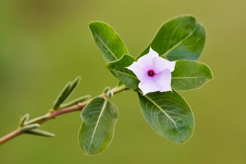 Madagascar-Periwinkle-_7R45492-Indian-Lake-Estates-FL-1