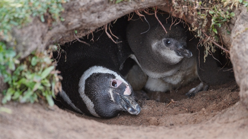 Mageellanic-Penguin-adult-chick-in-burrow-_MAI1848-The-Rookery-Saunders-Island-The-Falklands-1