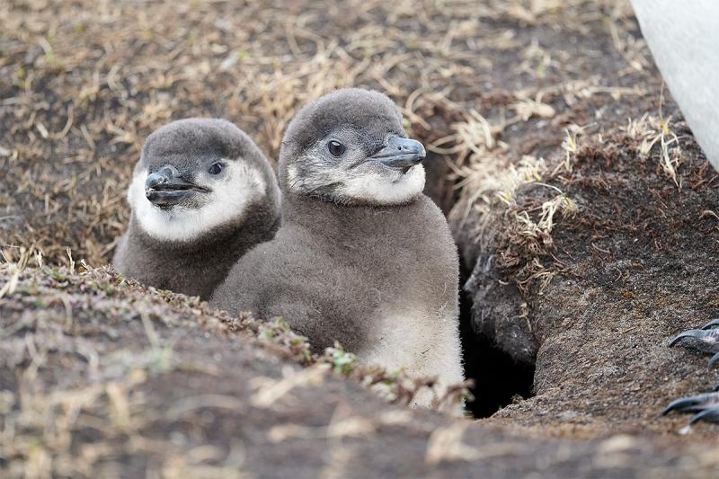 Magellanic-Penguin-chicks-in-burrow_MAI1730-The-Rookery-Saunders-Island-The-Falklands-1