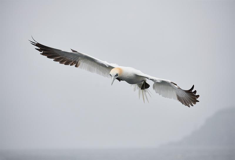 Northern-Gannet-adult-inj-flight-near-BAss-Rock-_BUP6302-Dunbar-Scotland-1