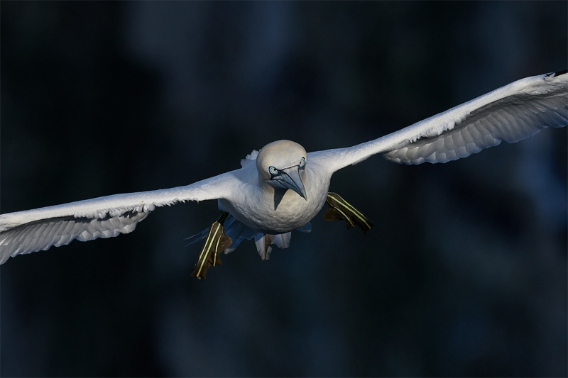 Northern-Gannet-incoming-dark-BKGR