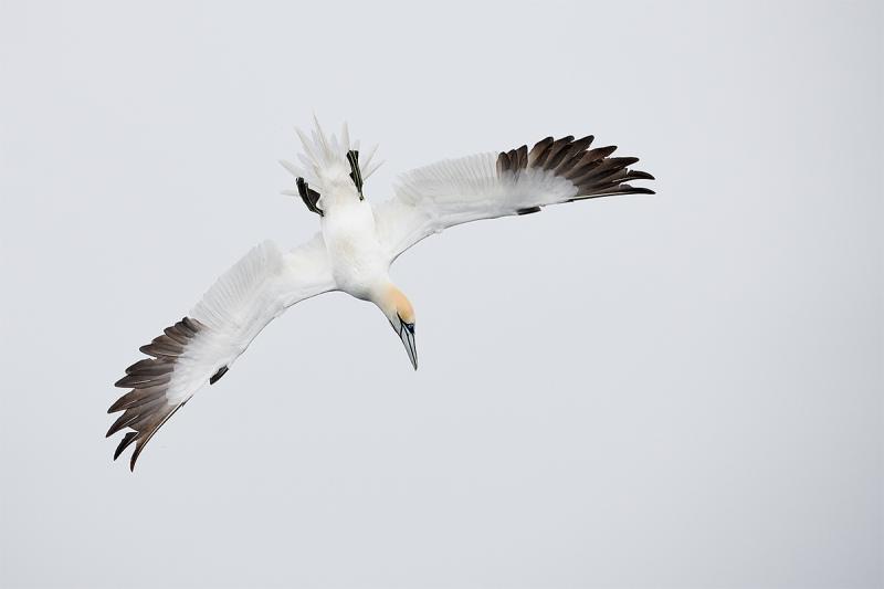 Northern-Gannet-upside-down-dive-_BUP5986-Dunbar-Scotland-1