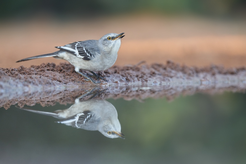 Northern-Mockingbird-drinking-low-light-
