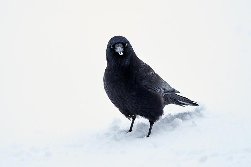 Northwestern-Crow-BLACKER-in-snow-_A922449-Homer-AK-1