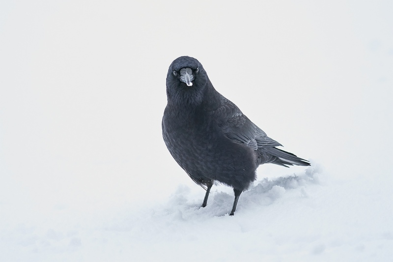 Northwestern-Crow-in-snow-_A922449-Homer-AK-1