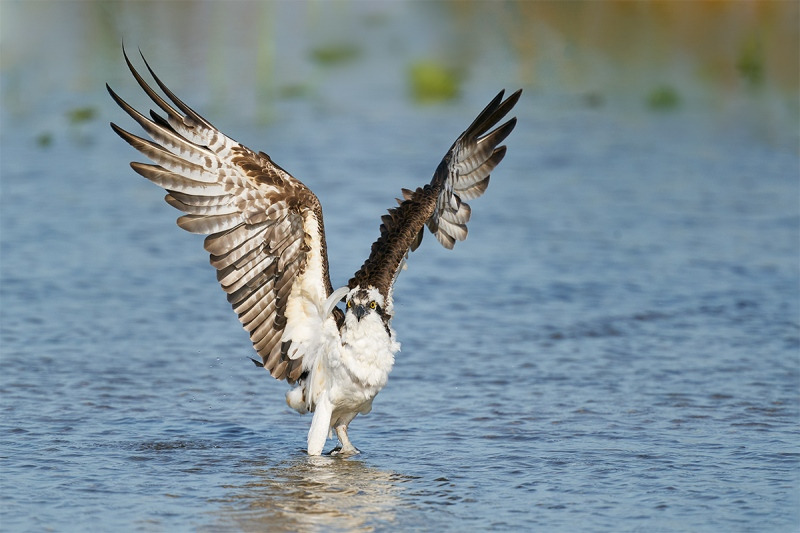 Osprey-flapping-_A9B8588-Indian-Lake-Estates-FL-1