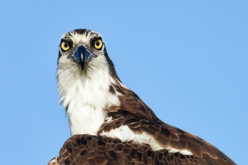 Osprey-head-crop-_7R44087-Indian-Lake-Estates-FL-1