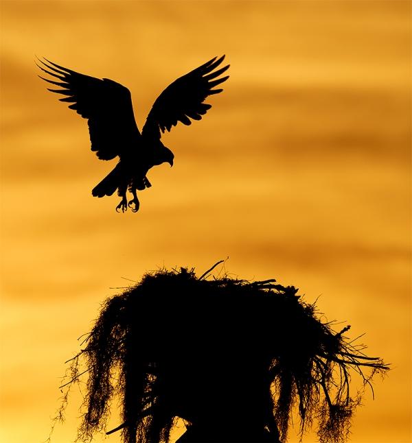 Osprey-landing-at-natural-nest-silhouette-LIGHTER-_7R47165-Indian-Lake-Estates-FL-1