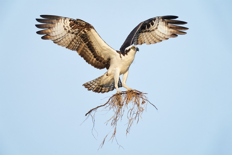 Osprey-landing-with-nesting-material-_A925143-Indian-Lake-Estates-FL-1