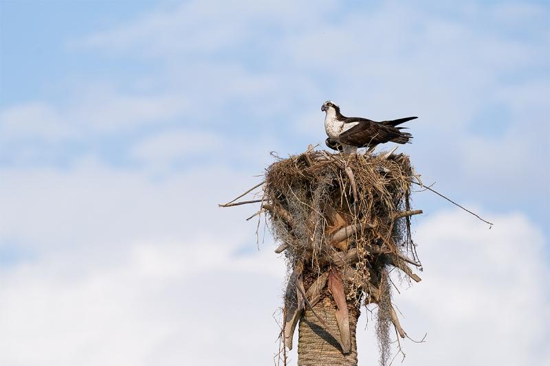 Osprey-on-nest-_A9B8037-Indian-Lake-Estates-FL-1