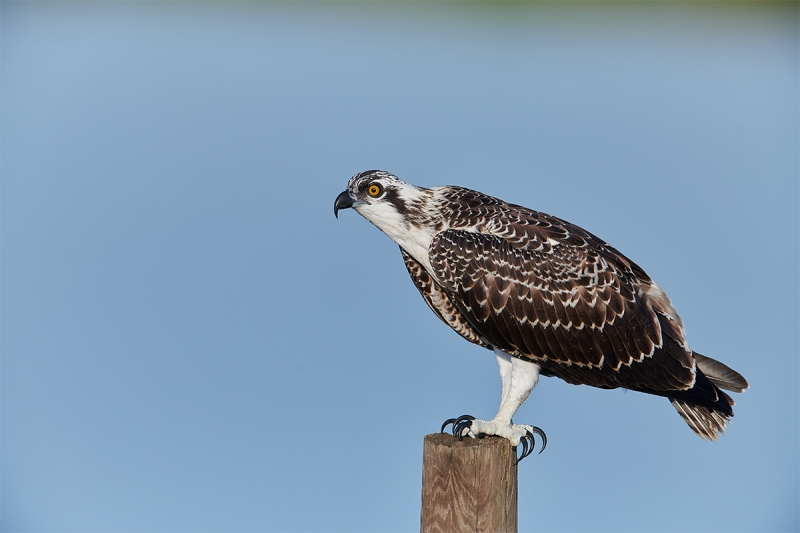 Osprey-on-perch-_BUP9521-Indian-Lake-Estates-FL-1