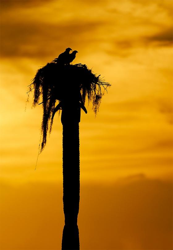 Osprey-pair-on-natural-nest-LIGHTER-_A9B7087-Indian-Lake-Estates-FL-1