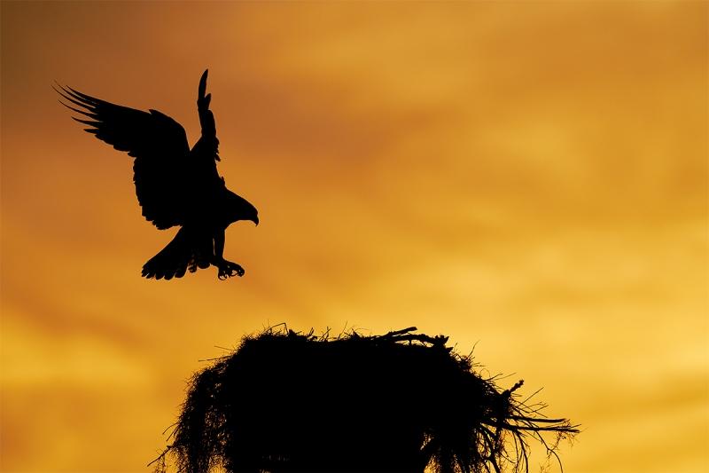 Osprey-returning-to-nest-at-sunset-LIGHTER-_7R47172-Indian-Lake-Estates-FL-1