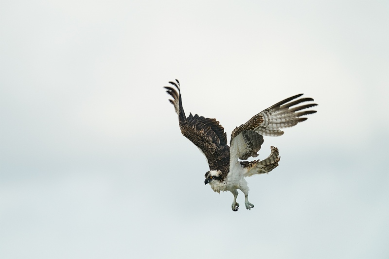 Osprey-shaking-out-feathers-in-flight-_DSC7826-Sebastian-Inlet-FL-1
