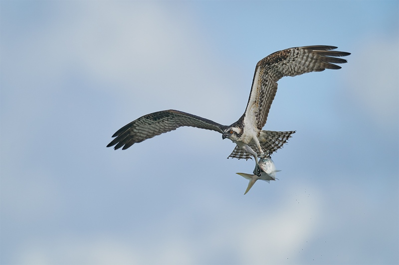 Osprey-wings-up-with-menhaden-_DSC7750-Sebastian-Inlet-FL-1
