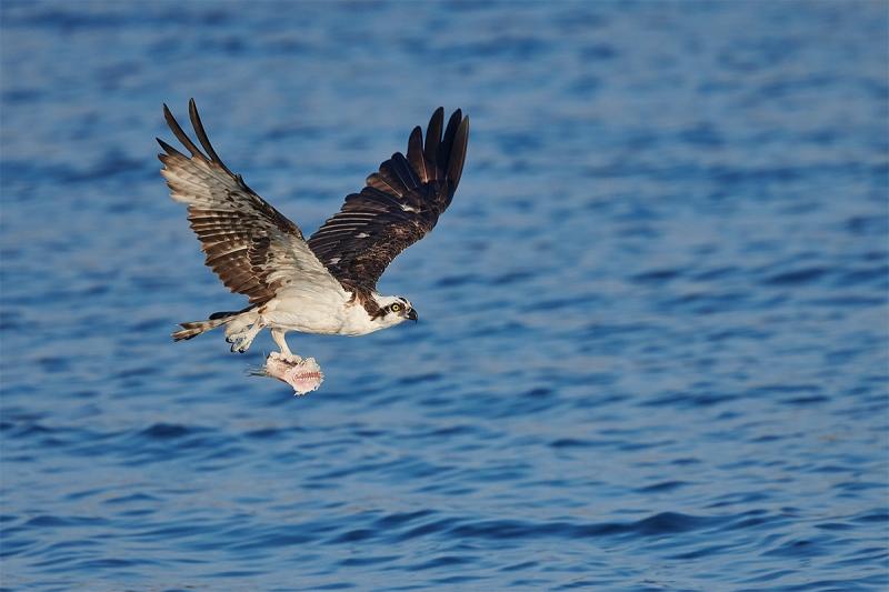 Osprey-with-half-eaten-fish-_BUP2078-Indian-Lake-Estates-FL
