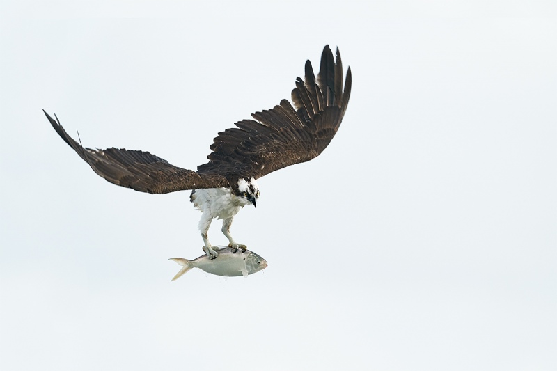 Osprey-with-menhaden-white-sky-_DSC7721-Sebastian-Inlet-FL-1