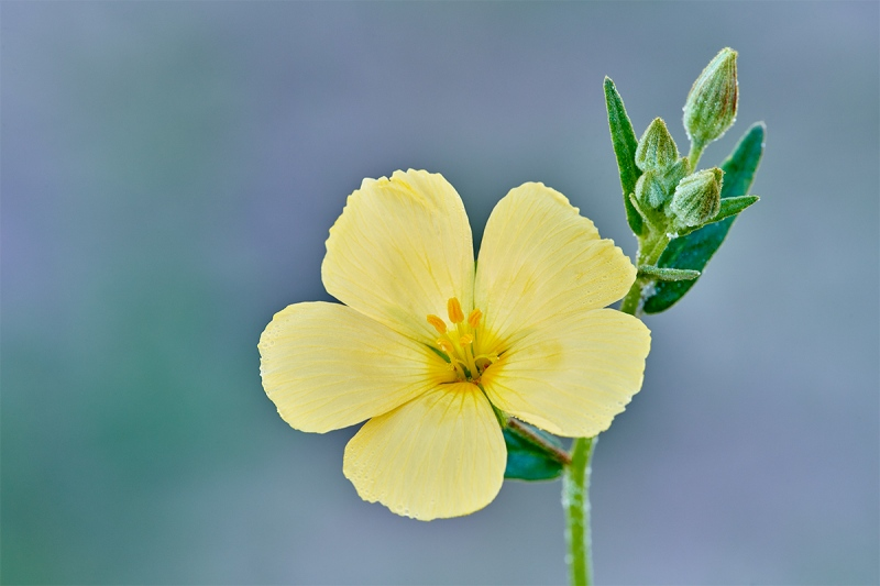 Pitted-Stripeseed-Piriqueta-cistoides-subsp.-caroliniana-_7R44853-Indian-Lake-Estates-FL-1