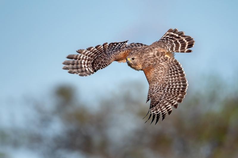 Red-Shouldered-Hawk-Arts-Blog