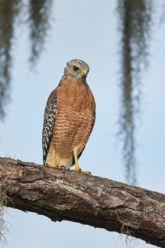 Red-shouldered-Hawk-perched-in-pine-_BUP2101-Indian-Lake-Estates-FL-1