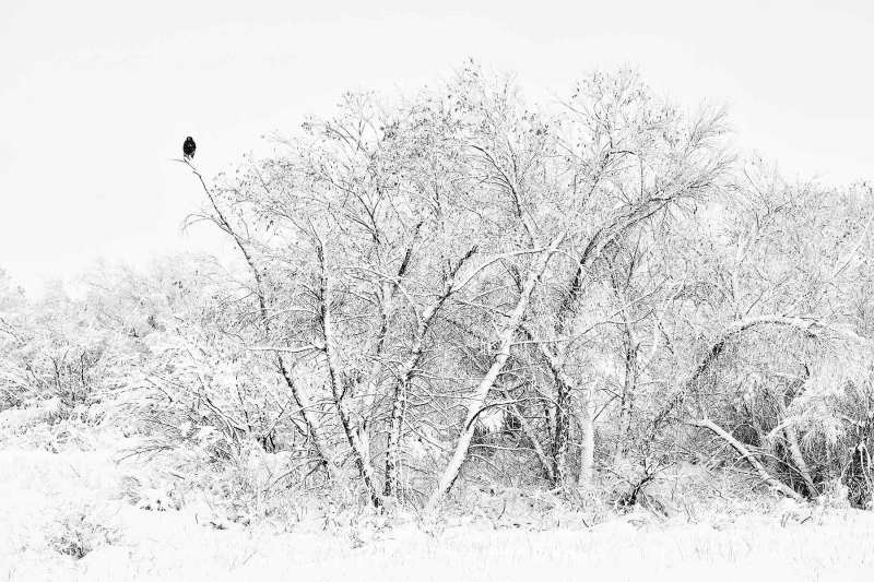 Red-tailed-Hawk-BW-Wet-Rocks-dark-morph-on-snowy-day-_7R43496-Bosque-del-Apache-NWR-San-Antonio-NM-1