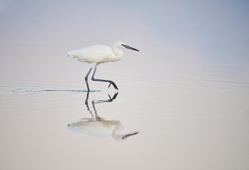 Reddish-Egret-white-morph-striding-pre-dawn-_7R41782-South-Padre-Island-TX-1