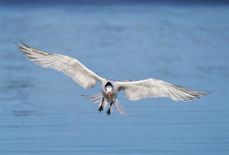 Rooyal-Tern.-braking-to-land-_A929056-Coronado-CA-1