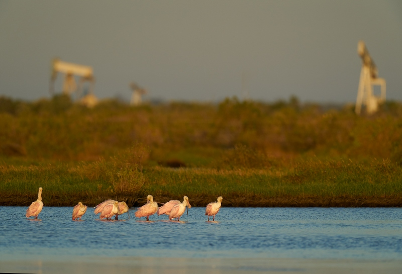 Roseate-Spoonbill-in-oilfield-pond-_A9B0442-Taylor-oilfields-High-Island-TX-1
