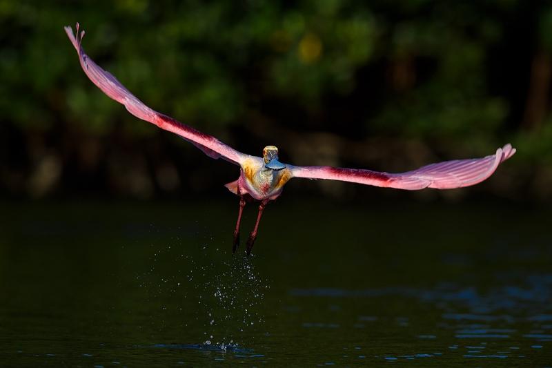 Roseate-Spoonbill-taking-flight-_DSC0456--Alafia-Banks,-Tampa-Bay,-FL